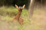 Ree - Roe Deer 2
