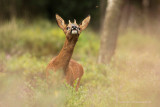 Ree - Roe Deer 1
