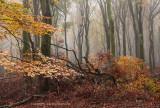 Beukenreservaat, herfst - Beech reserve, autumn 4 (van/of 4)