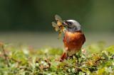 Gekraagde roodstaart - Common Redstart