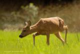 Sluipende reegeit - Roe Deer