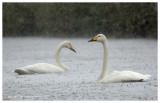 Wilde zwaan - Whooper swan