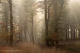 Beech forest, morning light - Beukenbos ochtendlicht