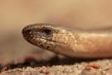 Hazelworm - Slow worm