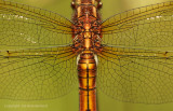 Beekoeverlibel - Keeled Skimmer