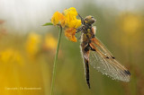 Four spotted Chaser - Viervlek