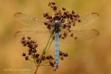 Dragonflies  and Damselflies - Libellen en Waterjuffers