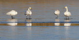 Wilde-Zwaan - Whooper Swan - Cygnus cygnus