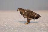 Zeearend - White-tailed Eagle - Haliaeetus albicilla