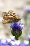 AMR_21042014_wavyleaf sea-lavender_8513.jpg