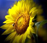 Sunflower lightbeam