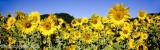 Sunflowers pan