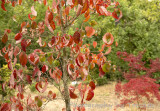 Bare red leaves