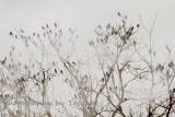 Crows in fog