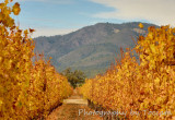 Fall vineyard Mt Hood