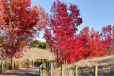 Fall red trees lining lane