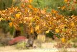 Golden maple leaves