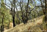 Lake Sonoma mossy trees