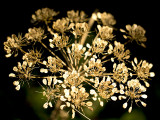 Dried flowers Sugarloaf