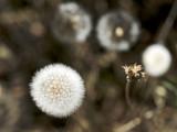 2014 Dandelion puffs