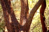 2014 Madronne peeling bark
