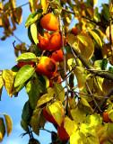 persimmons on tree