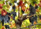 purple grapes fall leaves