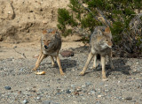 2 coyotes with bread