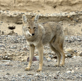 Coyote by Road