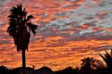 Shoshone Sunset palm
