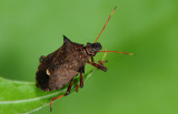 Hemiptera (Heteroptera)