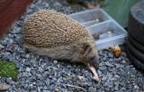 Hedgehog-and-Bones.jpg