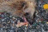 Hedgehog-and-Bones_2.jpg