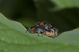 Cantharidae.jpg
