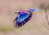 1DX12070 - Lilac Breasted Roller