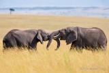 1DX_10452 - Elephants