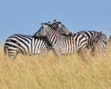 1DX_10242 - Zebras