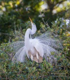 1DX49654 - Great Egret