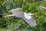 1DX50050 - Great Egret