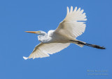 1DX50186 - Great Egret in flight