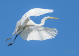 1DX50205 - Great Egret