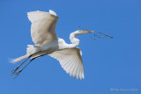1DX50221 - Great Egret