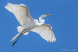 1DX50238 - Great Egret