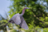 1DX50334 - Little Blue Heron