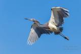 1DX50689 - Tricolor Heron