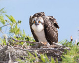 1DX51937 - Osprey chick