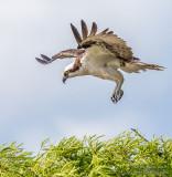 1DX51964 - Osprey landing