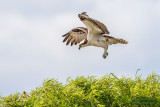 1DX51968 - Osprey landing