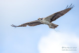 1DX52027 - Osprey in flight