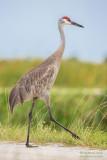 1DX52657 - Sandhill Crane